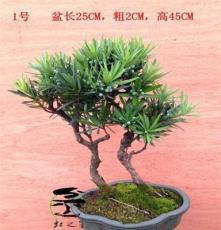 羅漢松,小葉羅漢松,雀舌羅漢松,盆景盆栽,送禮佳品,