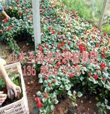 铁岭县红色羽衣甘蓝种植基地