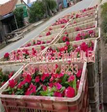 铁岭县红叶景天种植基地
