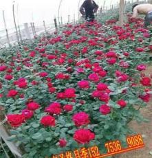 懷寧縣大花月季種植基地