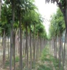 綠化苗木 供應大小規格國槐土球全冠