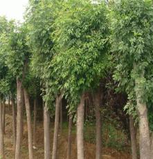 綠化苗木15公分國槐價格