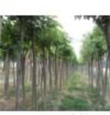 綠化苗木35公分國槐價格