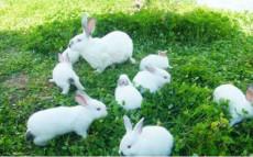 陜西肉兔種兔最新價格養殖兔子有多少利潤