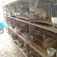江西肉兔多少錢一只野兔果園里散養利潤分析