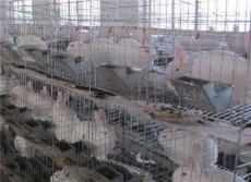 廣西肉兔種兔多少錢一只比利時野兔散養利潤