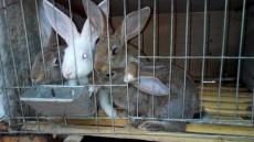 養殖50只雜交野兔有多少利潤