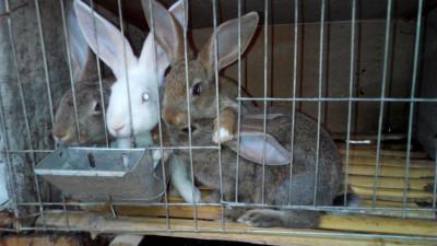 养殖50只杂交野兔有多少利润