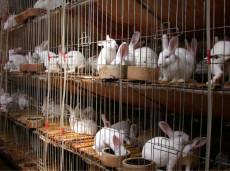 哪里的種兔價格便宜一只肉兔種兔多少錢