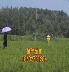 濕地松苗木種植技術 袋土球 二年生 80公分 隨州濕地松