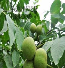 8518核桃苗,核桃苗價格  供應各種果樹苗綠化苗,庇蔭樹防護樹