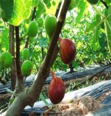 麗莎無花果苗,優質無花果樹苗,供應各種果樹苗、綠化苗