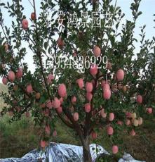 半喬化sh中間砧蘋果苗批發,蘋果苗價格,山東果樹苗,綠化苗出售