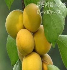 豐園7號杏樹苗 杏樹苗價格  供應各種果樹苗綠化苗,庇蔭樹防護樹