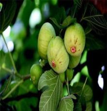 江蘇金傲芬無花果苗,無花果樹苗價格,出售綠化苗、果樹苗