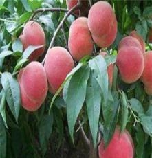 低价批发红桃苗 桃树新品种 嫁接果树苗 早熟桃苗