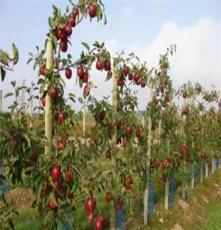 苹果树苗直销 矮化果树苗 水果苗 优质品种 嫁接果树苗 苹果苗