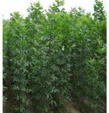 直销速生白蜡小苗 白蜡树苗 绿化工程苗木 1-20公分 规格齐全