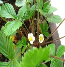 果树苗 四季草莓苗 奶油草莓苗 盆栽 草莓苗