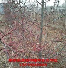 小皂角树苗价格 新安县茂恒种植专业合作社