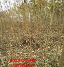 皂角树苗价格 皂角苗种植基地 新安县茂恒种植专业合作社