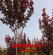 销售山东皂角树 新安县茂恒种植专业合作社