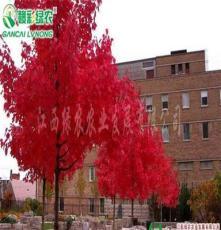 批发出售美国改良红枫十月光辉  日本红枫苗红枫价格图片彩化苗木