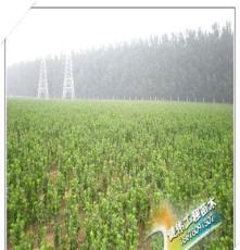 供应绿化苗木 小叶黄杨 北海道黄杨 大叶黄杨等苗木