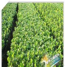 供应绿化苗木大叶黄杨球、小叶黄杨球、玉边冬青