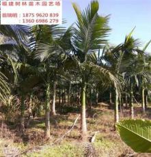 福建 漳州 假槟榔 树 全冠移植 假植苗 树形优美 冠幅饱满