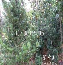 栽植 灌木 花卉 綠化苗木樹木 羅漢松