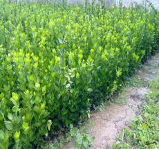 产地直销1米-2米-4米-6米-10米北海道黄杨