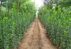 直销1.5米-2.5米-3.5-4.5米丛生北海道黄杨