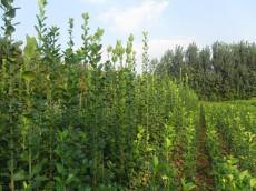 直销2米3米3.5米4米4.5米丛生北海道黄杨