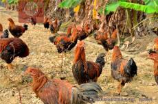深圳那里有真正的原生態放養的走地雞土雞