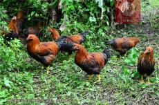 清远鸡哪家最正宗养生保健优先忆馨源走地鸡
