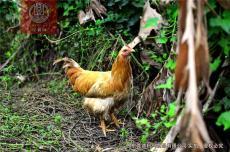 正宗清遠雞價格批發采購 廣東深圳東莞佛山