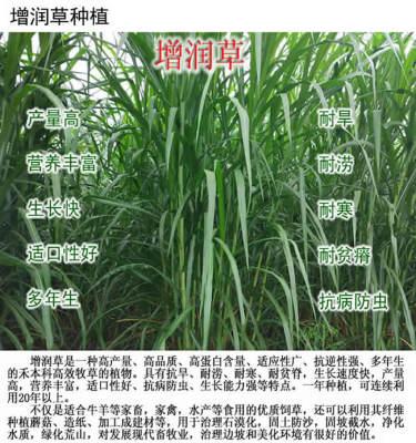 增润草新型皇竹草巨菌草台湾甜象草