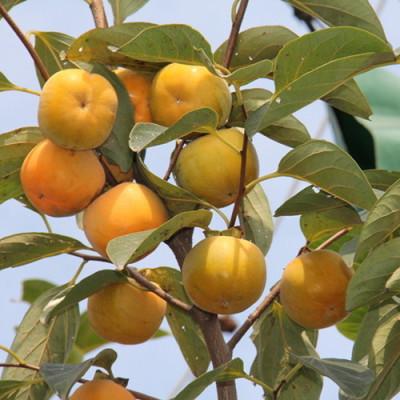 甜柿子苗-10公分12公分柿子苗柿子苗