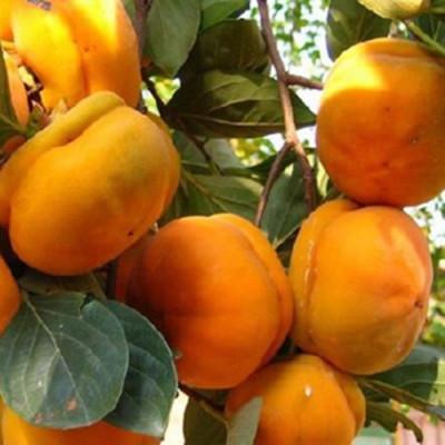 直销柿子树苗-25公分柿子苗-甜柿子苗