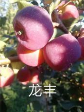 吉林出售龙丰苹果苗近期龙丰果树苗批发行情
