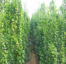 北海道黄杨带土发货-3米-4米丛生北海道黄杨