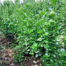 北海道黄杨成活率高4米-4.5米北海道黄杨