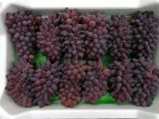 遼寧著色香葡萄苗出售精品凌海張旺葡萄苗