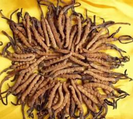 從化回收冬蟲夏草實在價格-大批量回收蟲草