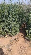 丛生北海道黄杨-80公分 -2米丛生北海道黄杨