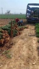 1米2北海道黄杨3米-5米丛生北海道黄杨