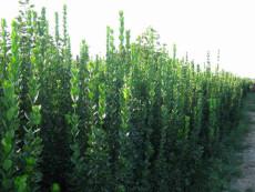 直销1米-2.5米3米3.5米4.5米丛生北海道黄杨