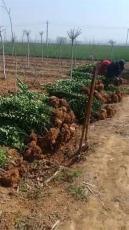 产地直销1.5米 2米-3米-5米北海道黄杨