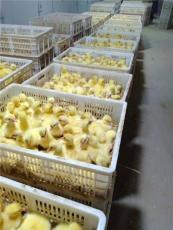 銷售鵝苗供應